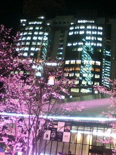 赤坂は桜が満開です!