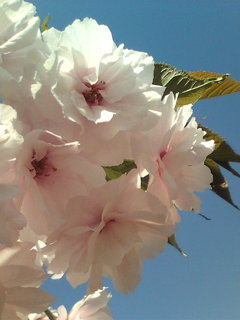 御苑の桜!。
