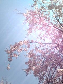 風に揺れる桜。